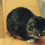 Самый маленький кот в мире