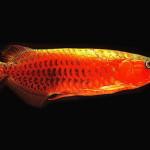 Рыба дракон арована ценой 100 тыс долларов