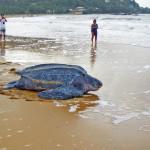 Кожистая черепаха — самая большая черепаха в мире
