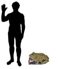 Дьявольская жаба в сравнении с человеком