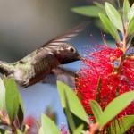 Колибри — самая маленькая птица в мире (8 фото)