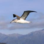 Argentavis magnificens — самая большая птица в мире