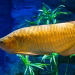 Арована — самая дорогая рыба в мире