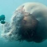 Cyanea arctica — самая большая медуза в мире