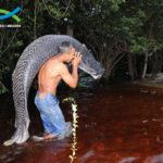 Пираруку — самая крупная пресноводная рыба в мире (6 фото)