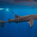 Китовая акула — самая большая рыба в мире (8 фото)