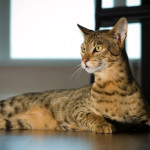 Ашера — самая дорогая кошка в мире