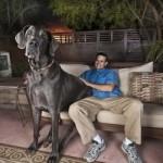 Голубой дог Джордж — самая большая собака в мире