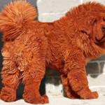 Красный тибетский мастиф — самая дорогая собака в мире