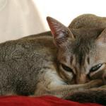 Сингапура — самая маленькая кошка в мире