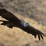 Андский кондор — крупнейшая птица Западного полушария