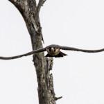 Сапсан — самая быстрая птица в мире
