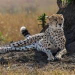 Гепард — самое быстрое животное в мире
