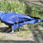 Большой гиацинтовый ара — самый большой попугай в мире