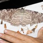 Тизания агриппина — самая большая бабочка в мире