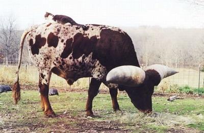 Самые большие рога в мире
