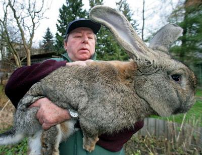 Самый крупный кролик в мире