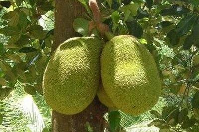 Джекфрут - самый большой фрукт в мире