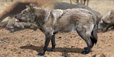 Ужасный волк (Canis dirus) - самый большой волк в мире