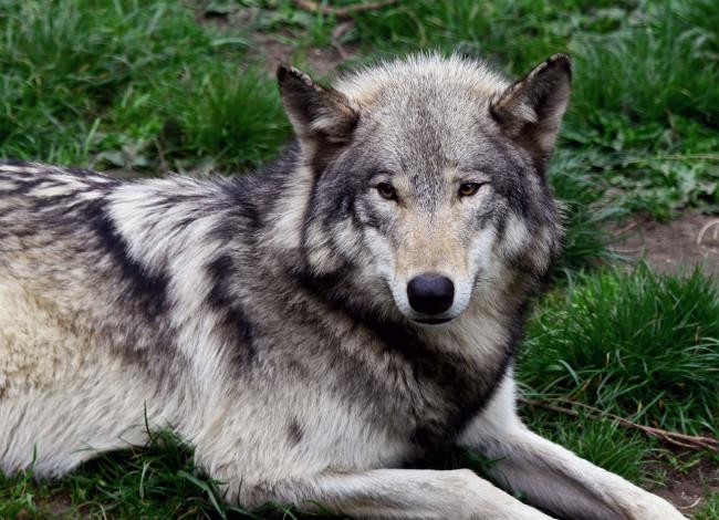 Само большой волк мира
