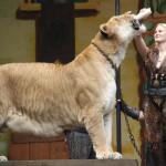 Лигр Геркулес — самая большая кошка в мире