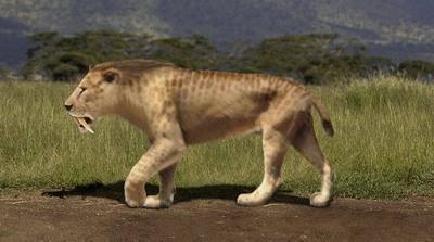 Smilodon populator - самая большая саблезубая кошка всех времен