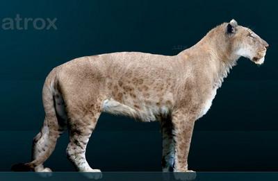 Американский лев (Panthera leo atrox)