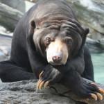 Малайский медведь — самый маленький медведь в мире