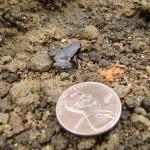 Ноблела — самая маленькая лягушка в мире