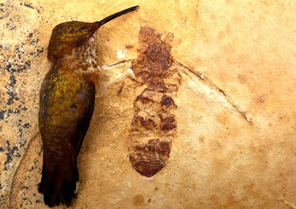 Titanomyrma lubei на фоне колибри