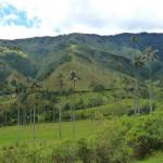 Киндиойская восковая пальма — самая большая в мире