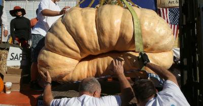 Тыкву Гарри Миллера загружают на весы для взвешивания