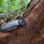 Дровосек-титан (Titanus giganteus) — самый большой жук в мире