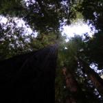 Секвойя Гиперион — самое высокое дерево в мире