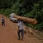 Бальса — самое легкое дерево в мире (8 фото)
