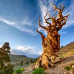 Мафусаил — самое старое из ныне живущих деревьев в мире (6 фото)