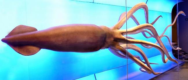 Гигантский кальмар (архитеутис) фото