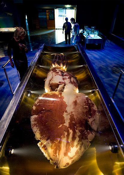 Антарктический глубоководный кальмар в национальном музее «Те Папа Тонгарева» (Новая Зеландия, Веллингтон)