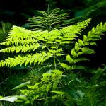 Папоротник — древнейшее растение на планете