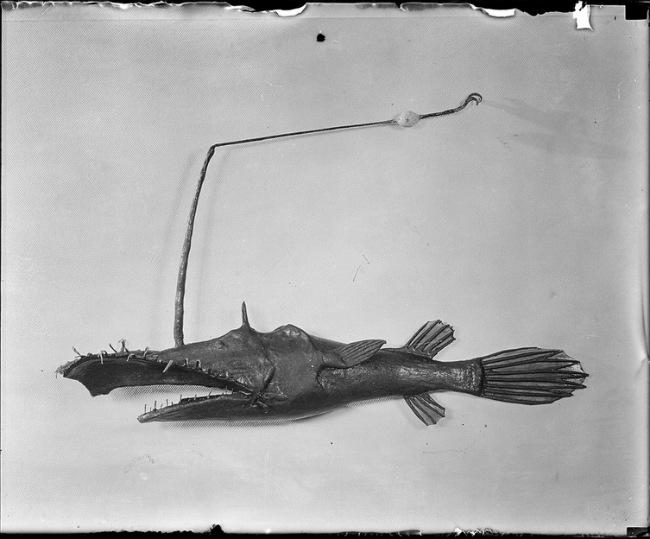 Lasiognathus saccostoma в Американском музее естественной истории (1933 год)