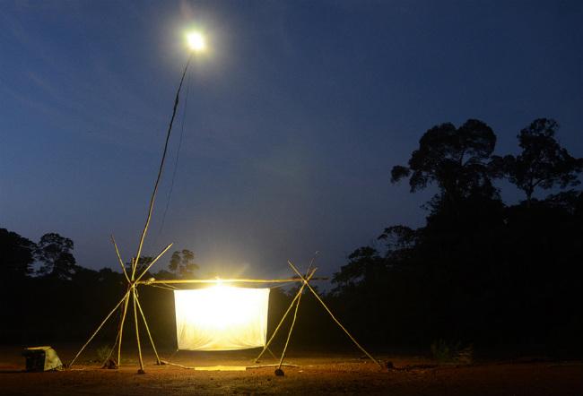 Световая ловушка для поимки Titanus giganteus