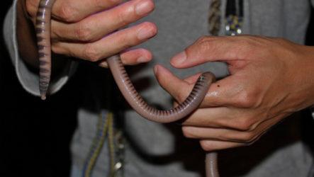 Megascolides australis — самый большой червяк в мире