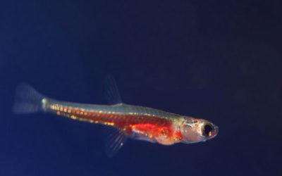 Paedocypris Progenetica — самая маленькая рыба в мире
